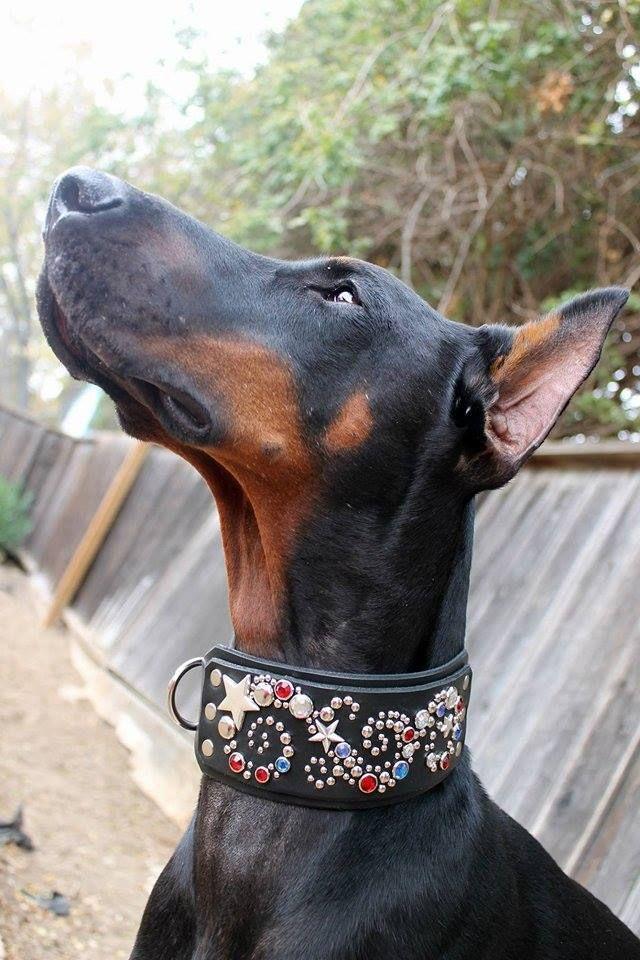 Dogs In Collars   Paco Collars: Custom Leather Dog Collars