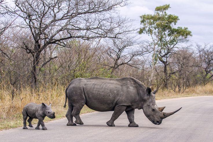 Maman et bébé rhinocéros blancs : Afrique du Sud
