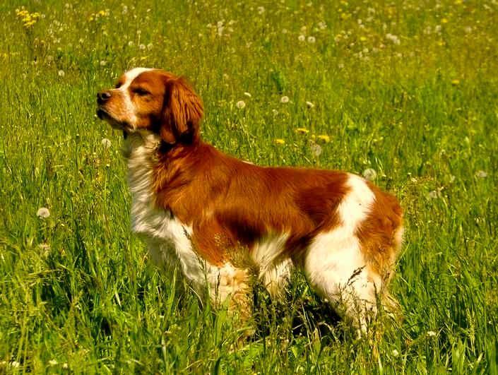 Todo sobre la raza de perro spaniel bretón