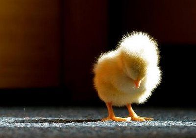 Baby chick: Ball, Animal Baby, Baby Animal, The Farm, Sleep Baby, Babychick, Baby Chicken, Sweet Dreams, Adorable Animal