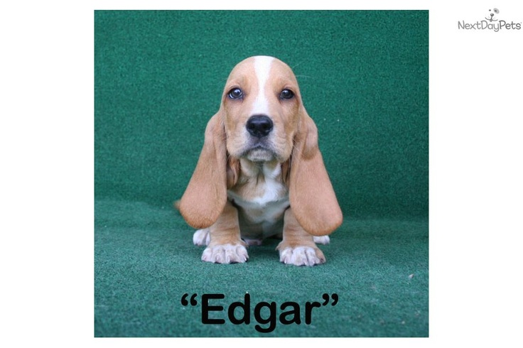Basset Hound puppies for sale. You'll love this Male Basset Hound puppy for sale near Brunswick, Georgia. Edgar - Mahogany & White  AKC Male
