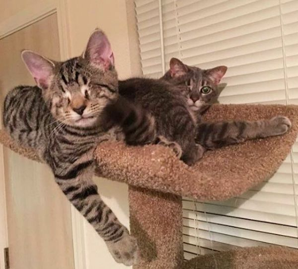Meet Willie and Skip, a Feline Duo With a Total of One Eye --  These pirate cats adopted at different times have become inseparable in their forever home.