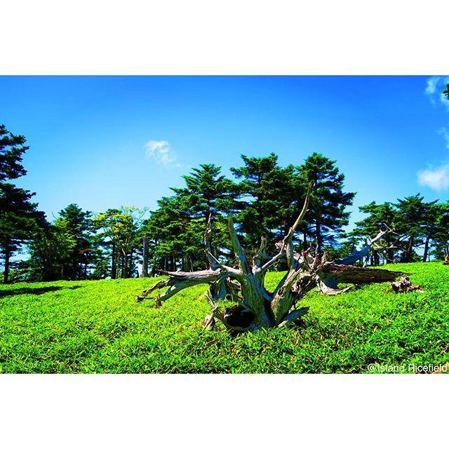 【island_ricefield】さんのInstagramをピンしています。 《山のアクアリウム  トウヒの立ち枯れがあちらこちらに。 なんか見た事あるなぁって思ったら水槽の中でだった。  #japan #奈良県 #大台ケ原  #トウヒ #立ち枯れ #笹原 #アクアリウム》