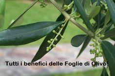 Tutti gli efficaci Benefici delle FOGLIE DI OLIVO. Per un benessere completo! SCOPRILI http://jedasupport.altervista.org/blog/sanita/salute-sanita/gli-efficaci-benefici-delle-foglie-di-olivo/