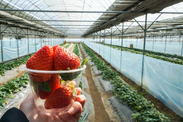 hold fresh strawberry in plastic bowl with farm backdrop