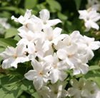 Popular climber with scented white flowers