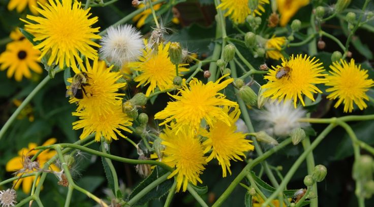 Simon's Wild Lettuce (Lactuca Virosa) Guide | Simon's Legal Highs