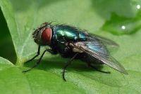 Rimedi naturali contro le mosche