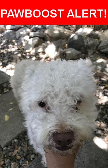Is this your lost pet? Found in Altadena, CA 91001. Please spread the word so we can find the owner!  Small poodle mix , not fixed. Very friendly!  Near East Altadena Drive, Altadena, CA