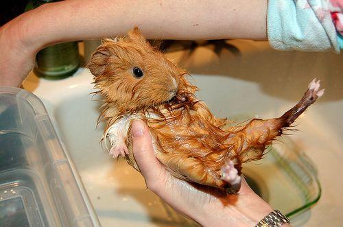 Bathe a Guinea Pig Pictures, Bath and Guinea pigs