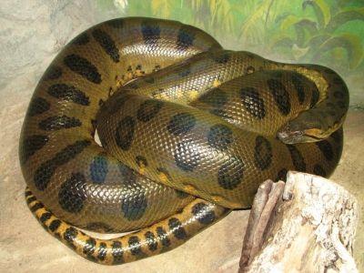 Anaconda vert, Eunectes murinus