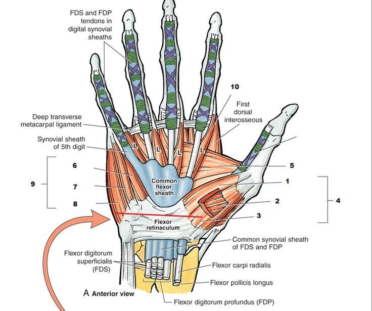 Palmar hand anatomy