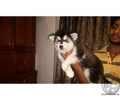 Siberian husky puppies for sale at best price in Mumbai, Maharashtra, India in Pet Animals And Accessories category under budget Check with seller