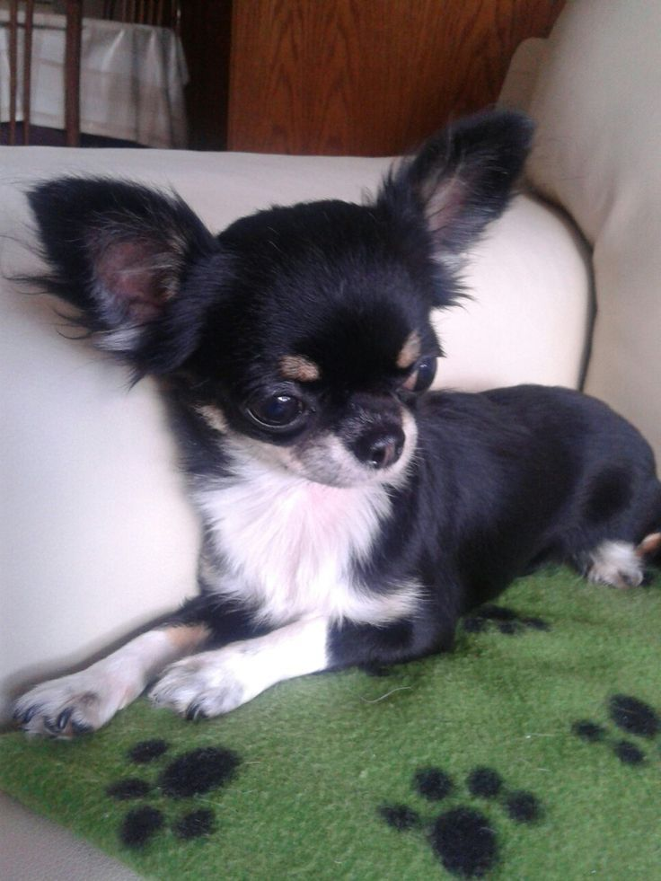 Best 25 Baby Chihuahua Ideas On Pinterest Chihuahua