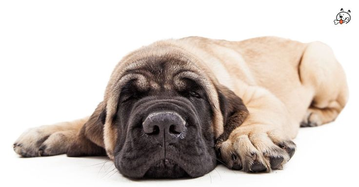 Did you know theese details about our  #Mastiff puppies? Click the Link or the image now and learn everything about them ;) http://puppies4all.com/mastiff-puppies-for-sale/ #dog #doglover #puppy #p4a#puppies #dogs #adorable #lovely #funny #loyal #breeds;