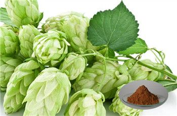 ||Hops Extract     Products Name:Hops extract  Specification: 5%, 90% xanthohumol, 4% Flavonoids(HPLC)  Appearance:Brown-YellowPowder  CAS:6754-58-1 Molecular Formula: C21H22O5 Contact Us       Hops are the female flower cones, we also called it strobiles. The hops belongs to the Cannabaceae, which also includes the genus Cannabis (hemp). They are mainly used as a flavoring and stability agent