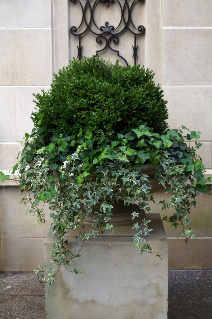 summer annuals boxwood ivy urn