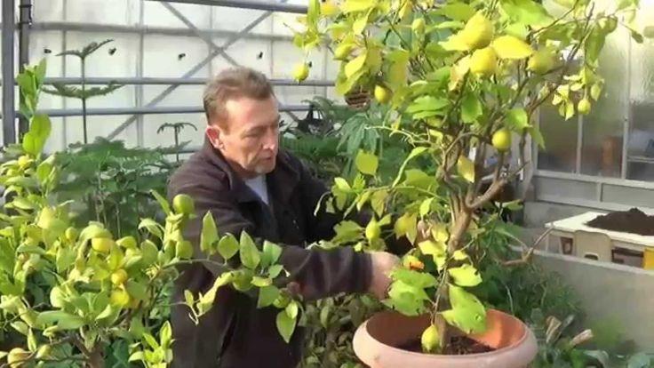 Chaine tv de Jardinage:chlorose du citronnier: feuilles jaunes du citron...