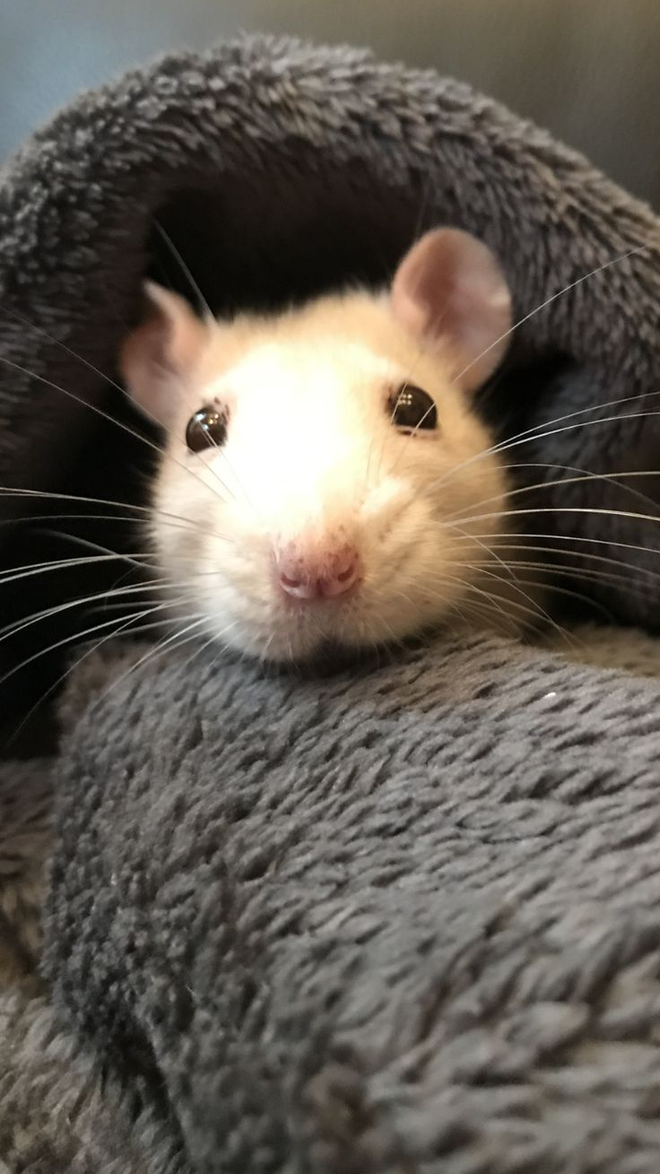 Cuddle chair related keywords amp suggestions cuddle chair long tail - Look At This Face Aww Cute Rat Cuterats Ratsofpinterest