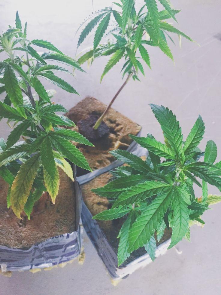 Reflecteur Cannabis Cool Pour Un Rflecteur Abordable Tu