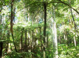 Parry Kauri Park Trees