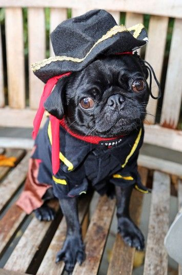 Einstein the Pug dressed up in a Pirate costume in the All Dogs Matter Halloween Fancy Dress Dog Walk, Hampstead Heath, London