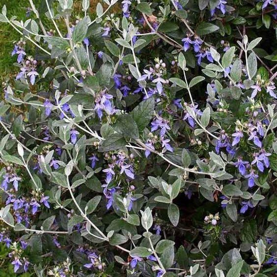 5fbf14ccfdfc32 Teucrium fruticans | jardin | Jardin méditerranéen, Jardin sec et ...