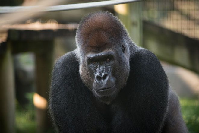 A 31-year-old western lowland gorilla has died at the Columbus Zoo and Aquarium, officials there say. Anakka died today, they said, after he failed to recover from anesthesia that was administered Monday for a routine medical procedure. Anakka had a history of heart disease that was being managed with medication and had been anesthetized for an evaluation, the zoo said in a news release.