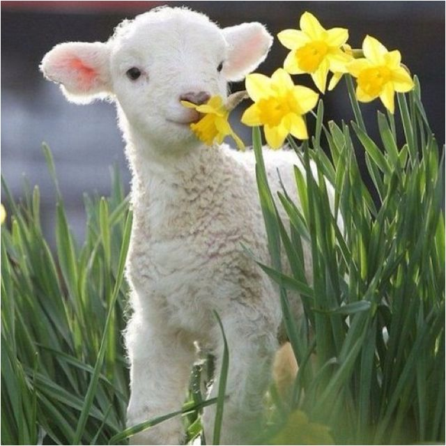 Jesus. Gentle as a lamb.