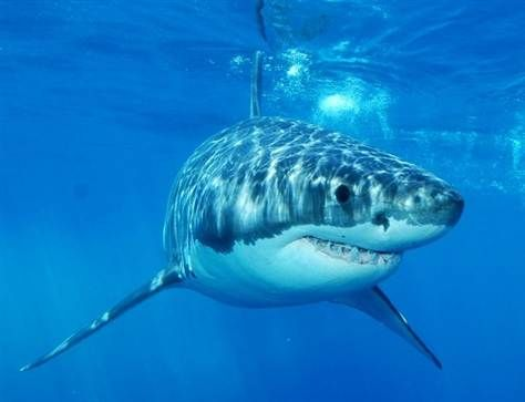 There's an app to track great whites.  I just learned that today on facebook.  The ocean is beautiful, but we are sharing it with the other creatures, when we jump in the ocean.  I want to know every little move of those sharks, so that I can get out of their way....really fast!