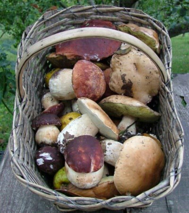 I don't like eating mushrooms, but I used to go picking them with my dedo (grandfather) when I was little. loved it, some of my fondest memories