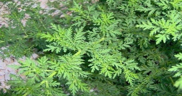De acuerdo con investigaciones realizadas por la Universidad de Washington, una planta llamada Artemisia puede matar hasta el 98% d...