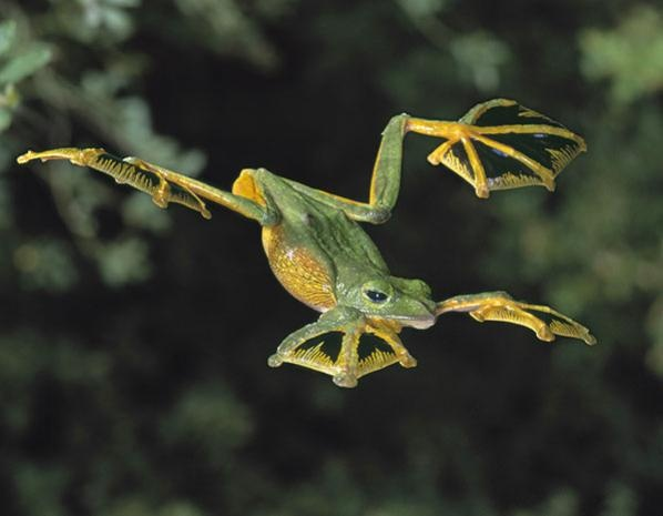 grenouille volante de wallace   corbis grenouille