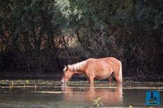Cal sălbatic bea apă la marginea canalului Sfântu Gheorghe