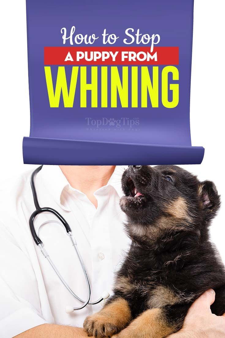 How To Stop A Puppy From Whining Puppy Whining Puppies Cute