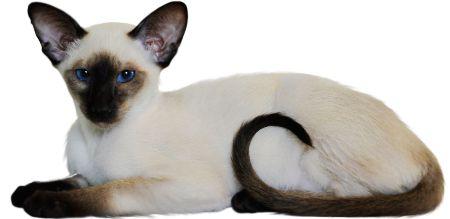 koty syjamskie zdjecia - Szukaj w Google