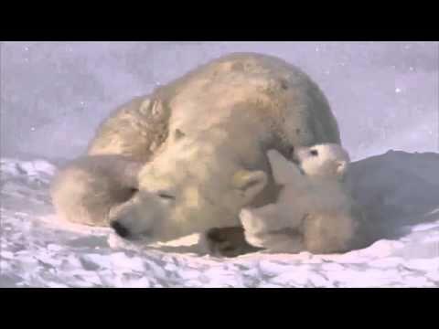 Jegesmedve mama és két bocsa