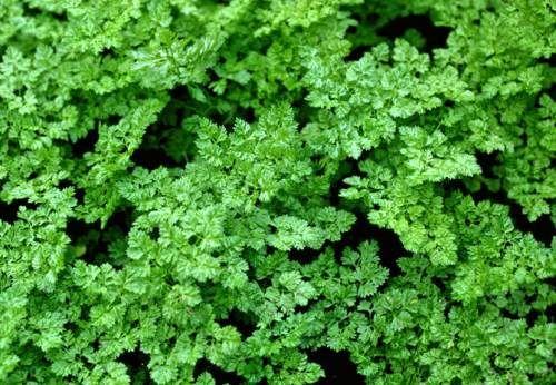 Le principali erbe aromatiche: Aneto, Anice, Basilico, Cedrina, Cerfoglio, Cumino - Clicca sulla foto per  informazioni
