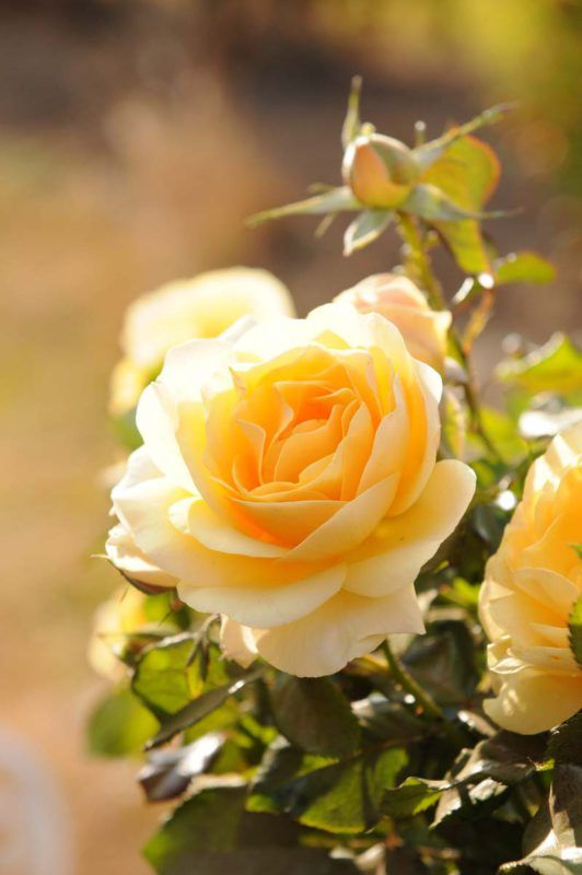 Lemonessence | The rugged, healthy growth is very impressive. The good-sized blooms have the romantic look of an old-fashioned rose and are lemon yellow, deepening to a golden yellow in slight shade and exude an extraordinary 'lemony' fragrance. The bush has the 'Iceberg' quality – just let it be, and it will grow and flower.