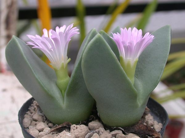 Conophytum herreanthus http://www.pinterest.com/emma16th/succulent-plants-loving-its-kind/