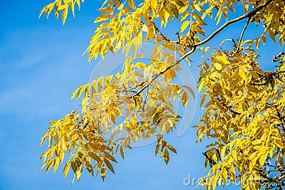 Autumnal Golden Ash Tree, Fraxinus Jaspidea, branch in sunlight, with a bright blue sky background.