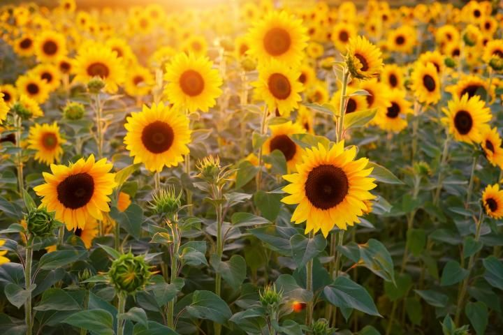 The Month Of July 2020 Holidays Fun Facts Folklore Sunflower Images Sunflower Fields Sunflowers Background