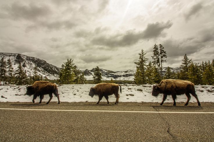 5 Best Spots for Wildlife Viewing in Yellowstone National Park
