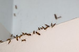 Fast, reliable and highly affordable American Canyon ant removal services are always just a quick phone call or a few clicks away. Call us today.