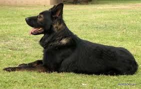ddr german Shepherd - a short hair version of Shadow.