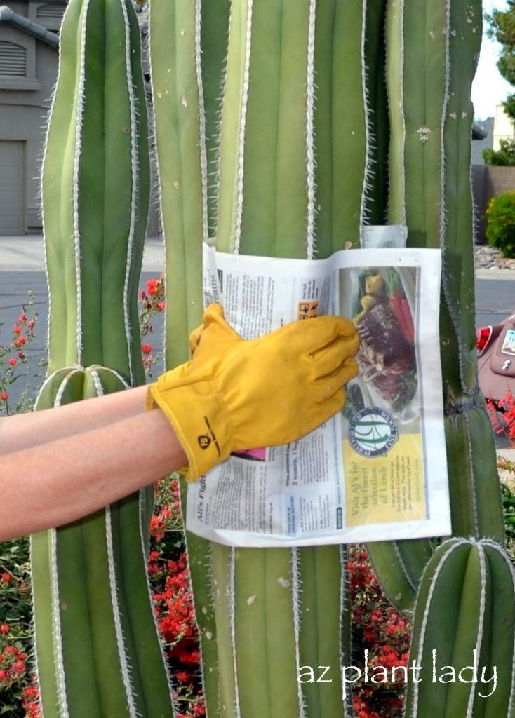 How to take a cutting of cactus and transplant it.