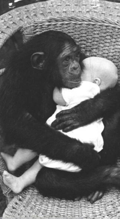 I find this image such a strong message of love. A barrier between human and animal and yet the chimp still cares for the baby as if he was her own.