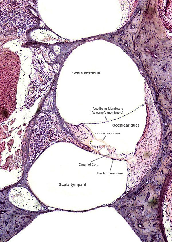 analysis of testicular histological structure in lambs This study was designed to evaluate the effectiveness of a luteinizing hormone releasing hormone (lhrh) fusion protein immunization on reproductive traits in ram lambs including the changes in histology and ultrasonographic appearance of testis.