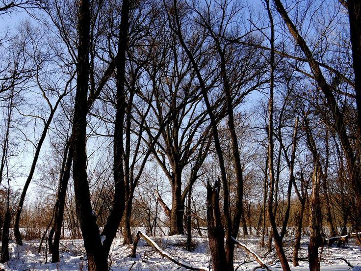 Fák,erdők,parkok.Elbi blogja: A téli Gemenc