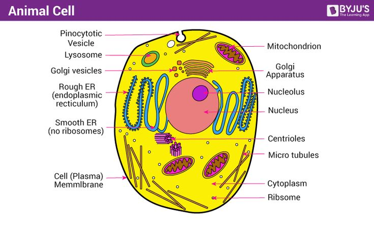 15++ Picture of animal cell images